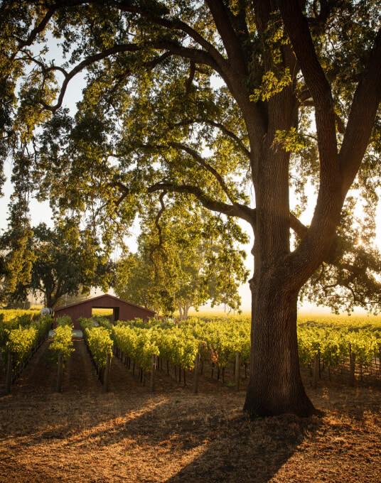 Groth Vineyards and Winery - Estate vineyards - Oak tree in vineyard